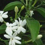 Jasmijn wit