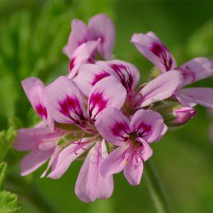 roos geranium